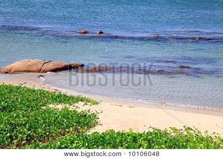 beach grass Ipomoea pes-caprae Sweet with gentle ripple at Rayong beach Thailand.