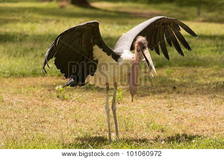 Marabou Stork Stretching Wings In Grassy Clearing
