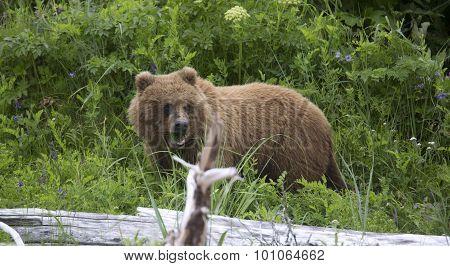 Portrait of free wild brown bear