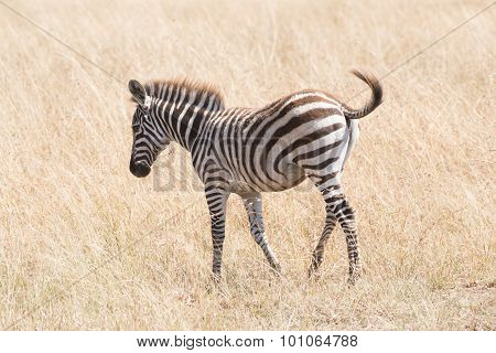 Zebra Foal Crosses Savannah Flicking Its Tail