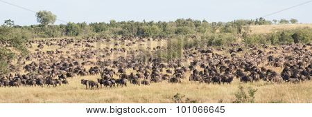 Hundreds Of Wildebeest Graze On Wooded Hillside