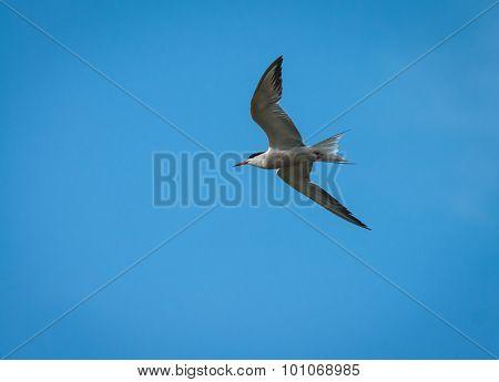 Seagulls, Ahtuba, Russia