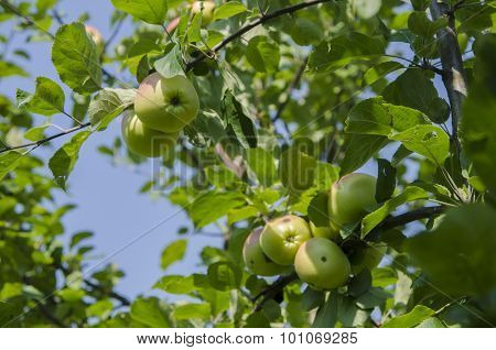 Apple with leaves growing on the tree
