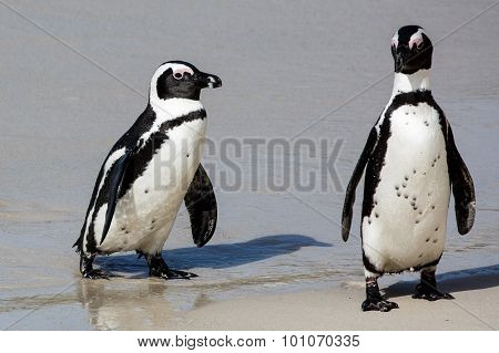 African Penguins At The Sea Shore