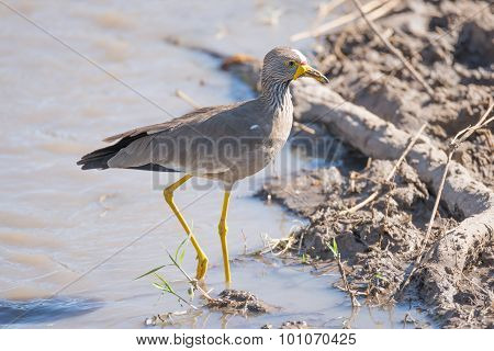 African Wattled Lapwing Passes Branch In Mud