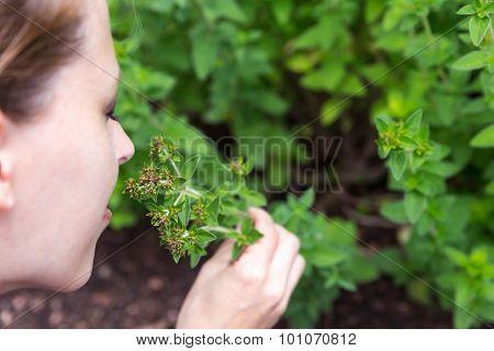 Oregano In The Garden