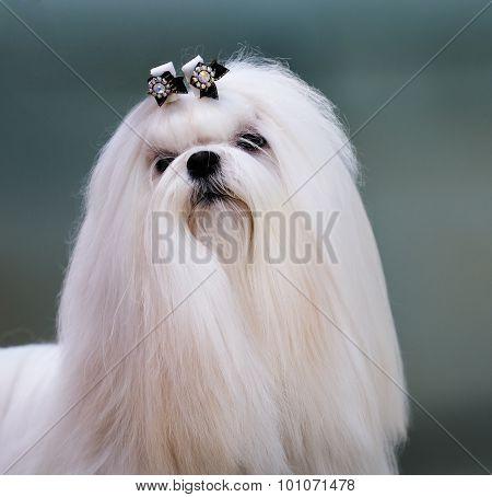 Richon Maltiase Dog Portrait