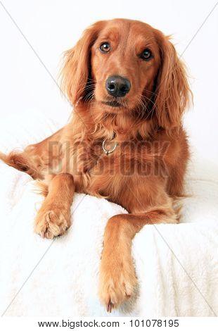 Irish Setter dog studio portrait