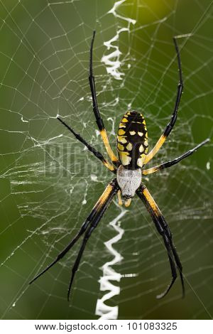 Black And Gold Zipper Spider
