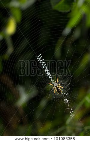 Large Spider On Orb Web With Stabilimntum
