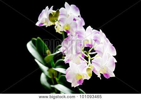 Pink Dendrobium