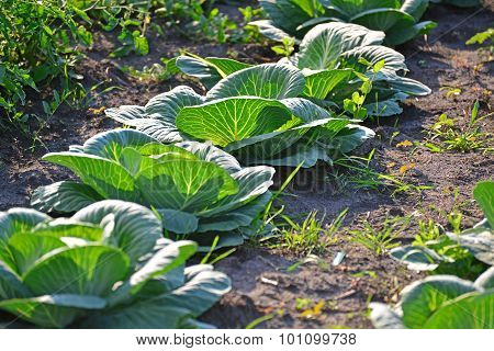 The Harvest Of Cabbage In Garden