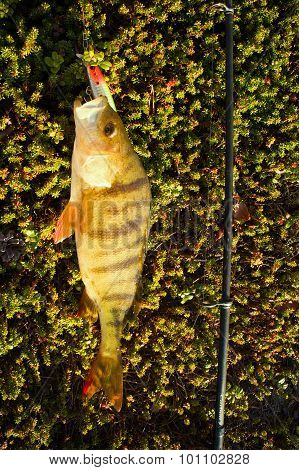 Perch Fishing Northern Fish