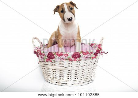 A red bull terrier puppy