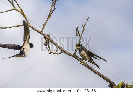 Swallow Hirundo rustica juvenile on a branch waiting to be fed