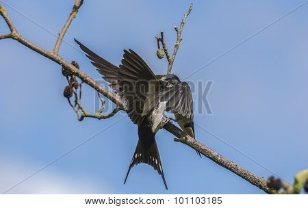 Swallow Hirundo rustica juvenile on a branch being fed