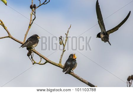 Swallow Hirundo rustica juveniles on a branch being fed