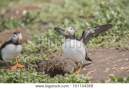 Puffin Fratercula arctica about to fly from beside its burrow