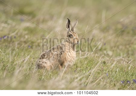 Brown Hare, Lepus, sitting on the grass with ears pricked up