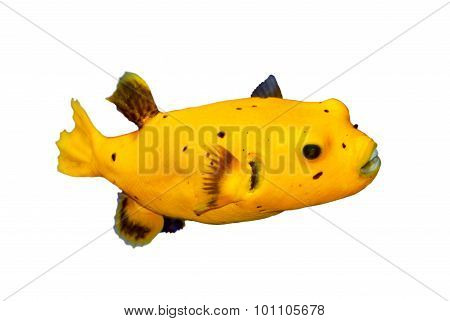 Black Spotted Or Dog Faced Puffer Fish