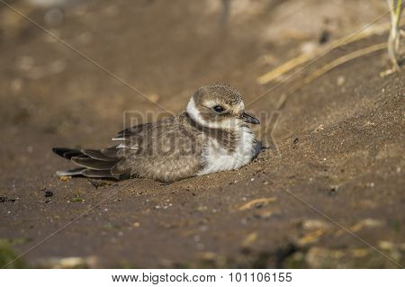 Ringed plover sitting on the beach in the sand