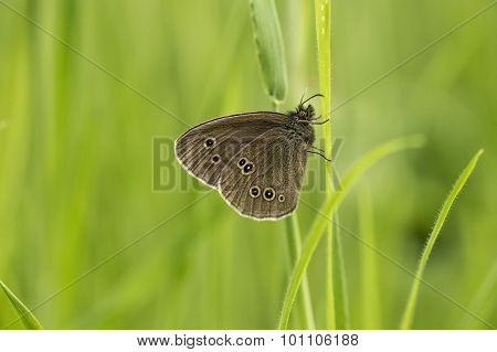 Ringlet butterfly perched on a blade of grass