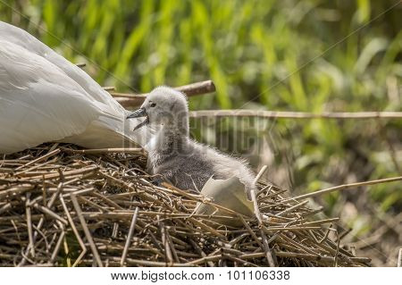 Cygnet sitting behind adult Swan tail feathers with an open beak next to a newly hatched egg shell