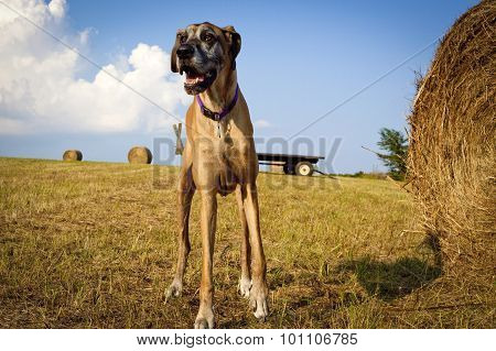 Great Dane standing in hay field looking left