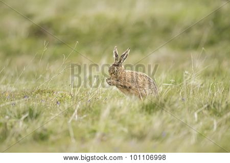 Brown Hare, Lepus, preening itself in a field