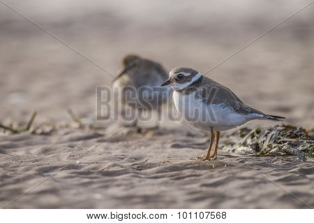 Ringed plover standing in the sand on the beach