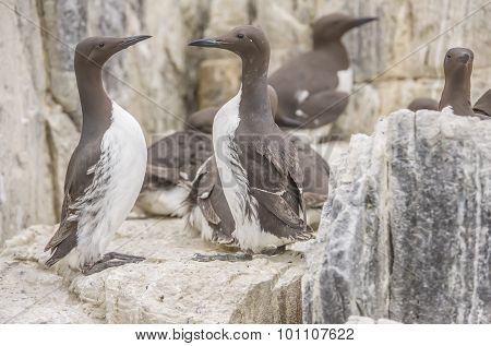 Common Guillemot Uria aalge pair standing on the edge of a cliff close up