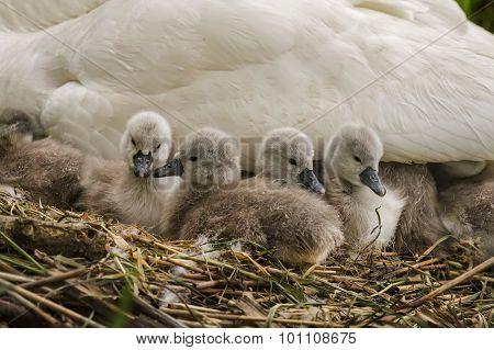 Mute swan Cygnus olor Cygnets on the nest