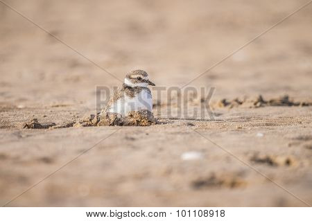 Ringed plover sitting in a hole in the sand