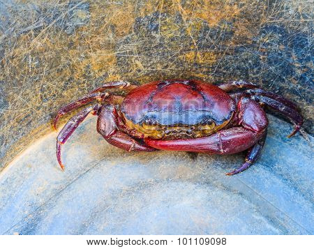 Crab In Bucket, From Above