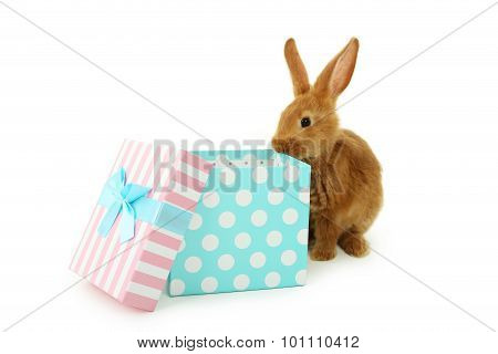 Young Red Rabbit Near Gift Box  Isolated On White