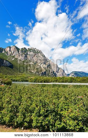 Apple Orchards In Sarca Valley - Trentino Italy