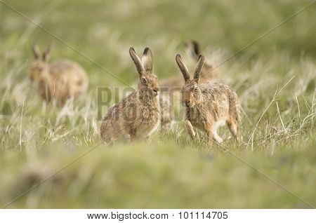 Brown Hares, Lepus, running together in a field