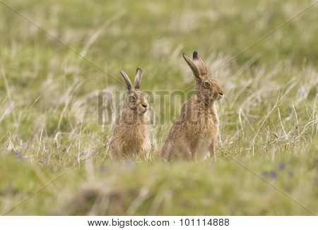 Brown Hares, Lepus, sitting together in a field