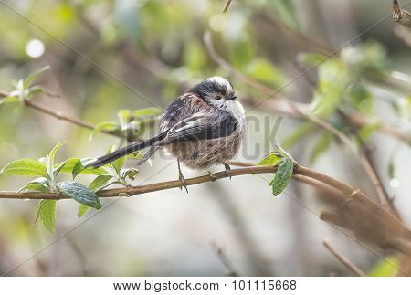 Long tailed Tit Aegithalos caudatus perched on the branch of a tree