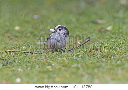 Long tailed Tit Aegithalos caudatus sitting on the grass with food in its beak