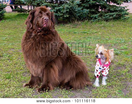 Tibetan Mastiff and Chinese crested dog.