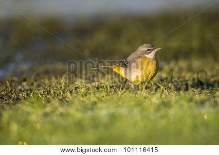 Grey wagtail, Motacilla cinerea, on frosty grass