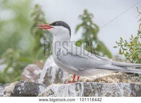 Arctic tern Sterna paradisaea standing on a rock squawking close up
