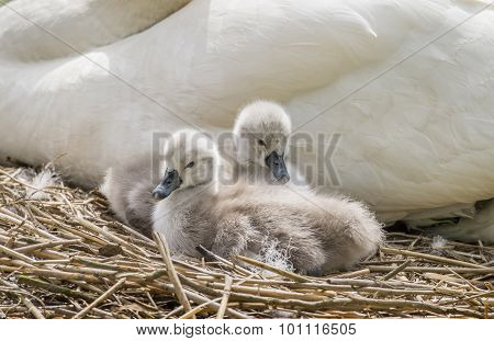 Cygnets sitting in front of an adult swan