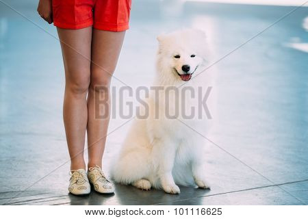 White Samoyed Dog Puppy Whelp Sitting On Floor
