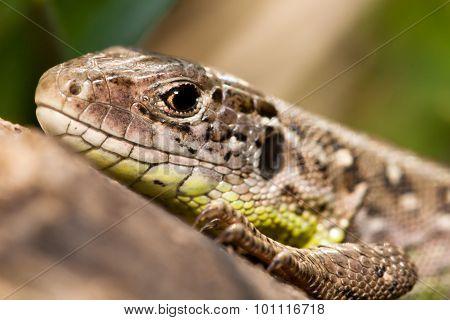 Lacerta agilis lizard