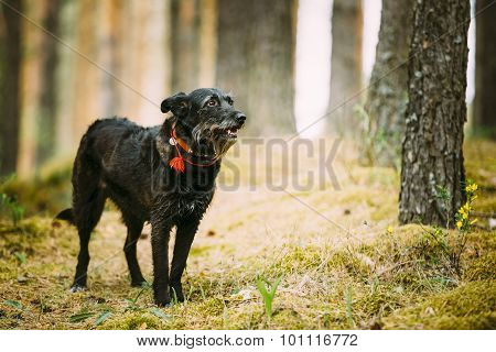 Small Size Black Hunting Dog in Summer Forest