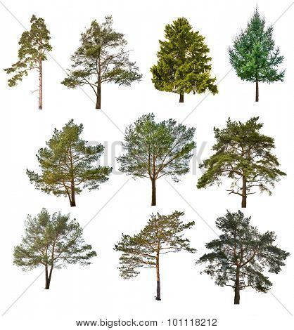 set of ten coniferous trees isolated on white background