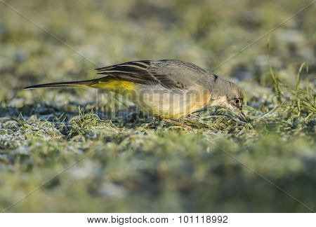 Grey wagtail on frosty grass looking for food close up