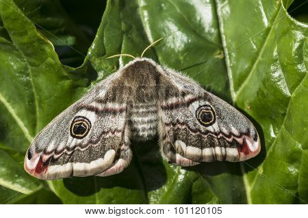 Small Emperor Moth (Saturnia pavonia) on a leaf